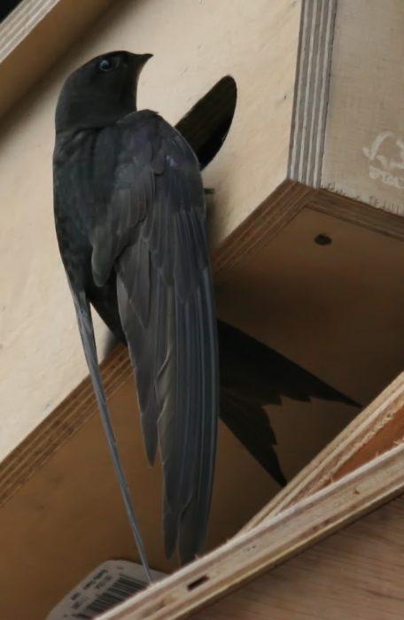 Le martinet noir à Ondres